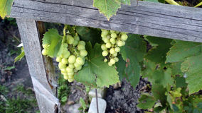 The Vine near the house, ripe bunches of grapes. Royalty Free Stock Image