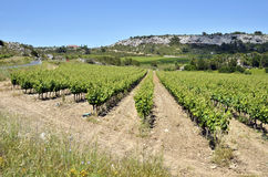 Vine near of Narbonne in France Stock Photos