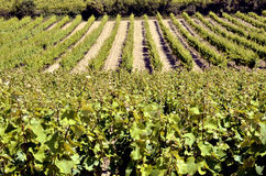 Vine near of Narbonne in France Stock Photo