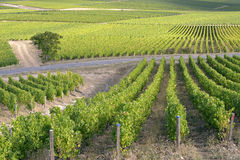 Vine near of Sancerre in France Royalty Free Stock Image