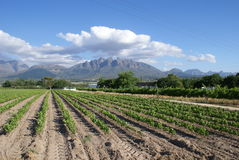 Vine nursery. These young vines will be transplanted to grow large vineyards - photo taken close to Wellington, in the wine region of South Africa. The Royalty Free Stock Images