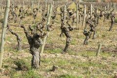 Vine in Occitanie, France Royalty Free Stock Photos