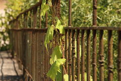 Vine on a old iron fence. A vine on a old iron fence in the interior of Portugal Stock Images