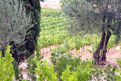 Vine and olive trees in Provence Stock Photography