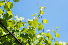 Vine plant against blue sky Royalty Free Stock Photography