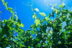 Vine plant with blue sky. Leaves vine plant with blue sky Royalty Free Stock Photo