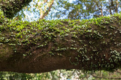 Vine plant on a branch Royalty Free Stock Image
