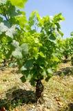 Vine plant in Burgundy Stock Image