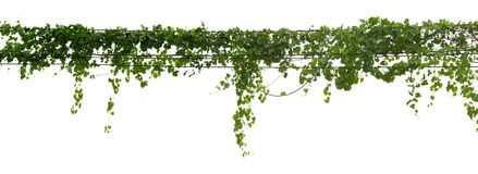Vine plant climbing isolated on white background with clipping path included.  stock image