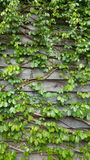 Vine plant clime on the wooden wall background. Vine plant clime on the wooden wall Stock Images