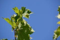 Vine plant Stock Photos