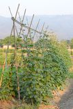 Vine Plant Royalty Free Stock Photo