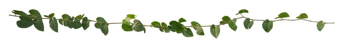 Vine Plant leaves tropic, bush foliage tree isolated on white background have clipping path stock photos
