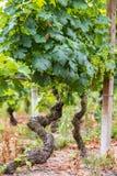 Vine plant in Piedmont, Italy royalty free stock photos