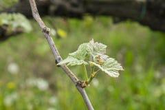 The vine plant Stock Image