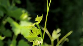 Vine plant in the sunlight stock video footage