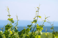 Vine plant on a sunny summer day Stock Images