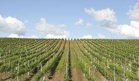 Vine plantation Stock Image