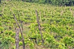 A vine plantation in Ohrid, Macodonia. Stock Photo - OHRID, MACEDONIA, MAY 18, 2011 Vine plantation in Ohrid, Macedonia, on May 18th, 2011 royalty free stock photos