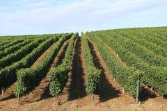 Vine plantation Stock Photos