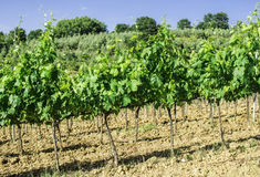 Vine plantations and farmhouse in Italy Royalty Free Stock Photos