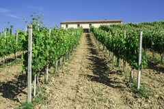 Vine plantations and farmhouse in Italy Stock Photography