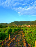 Vine plantations in mountain foothills Royalty Free Stock Image