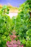 Vine plants. With grape fruits by Saarburg, Rheinland-Pfalz, Germany, summer Royalty Free Stock Photo