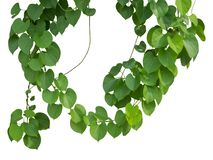 Vine plants climbing on transparent layer have clipping path.  stock photography