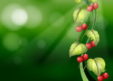 Vine plants with fruits Royalty Free Stock Photo