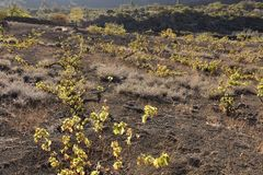 Vine plants growing in volcanic soil of Tenerife Canary Islands royalty free stock photography