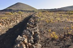 Vine plants growing in volcanic soil of Tenerife Canary Islands royalty free stock image