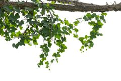 Vine plants isolated on white background. clipping path. Vine plants isolated on white background. clipping path royalty free stock photography