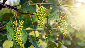 Vine plants, unripe grapes Stock Image