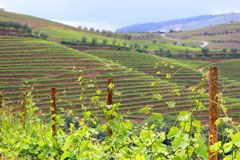 Vine in Portugal. Portugal wine region - vineyards on hills along Douro river valley. Alto Douro DOC royalty free stock photo