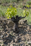 Vine in Priorat Wine Region, Catalonia, Spain stock image
