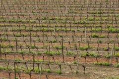 Vine in Razes, France Royalty Free Stock Photography