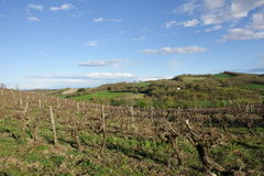 Vine in Razes, France Royalty Free Stock Images