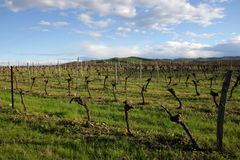 Vine in Razes, France Stock Photography