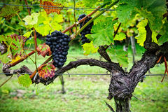 Vine with Red Grapes Stock Images
