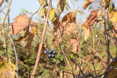 Vine with red and yellow leaves in autumn sunny day. Rows of Grape vines, some with grapes still hanging Stock Photo