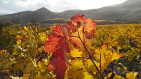 Vine with red and yellow leaves. On background of blue sky in sunny day stock video