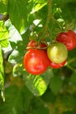 Vine Ripe Cherry Tomatoes Stock Photography