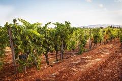 Vine with ripe grapes Stock Photo