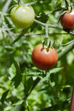 Vine ripe tomatos Stock Photos