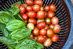 Vine Ripened Grape Tomatoes and Italian Basil. A full colander of freshly picked and vine ripened grape tomatoes along with some green Italian basil. Shallow stock photo