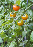 Vine Ripened Tomatoes Royalty Free Stock Photo