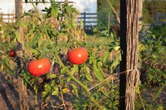 Vine Ripened Tomatoes. Tied to a wooden stake in an organic vegetable garden Royalty Free Stock Images
