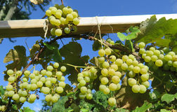 A Vine of Ripped Niagara Grapes Branch Green Leaves Blue Sky Royalty Free Stock Images