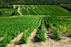 Vine in Roussillon. Region of France Stock Photos